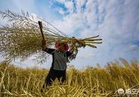 農村種植的菜籽,要長到什麼程度才能收割?