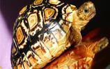 烏龜圖集:豹紋陸龜