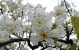 四川省最美的梨花園,不在綿陽,也不在成都,看完就知道在哪了!
