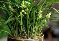蘭花只長不開花?問題出在這3處,花苞多花開滿盆!