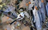這六種大興安嶺的鳥都是新拍的,你若能叫出它們的名字算你牛