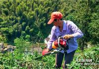 休寧:茶樹修剪重管護