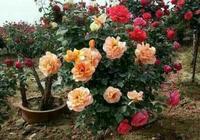 您剛買來的花都是很快換盆換土的嗎?其實應該注意的是這些