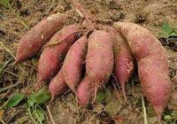 紅薯發芽還能吃嗎?紅薯的營養價值