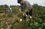 朱之文微博晒拾棉花照片,卻因為裝棉花的袋子引起了網友的罵戰