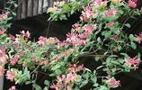 帶土發貨的6種爬藤植物,新手在陽臺輕鬆養爆盆