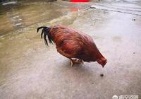 你們那裡真正的土雞(沒有喂飼料的)多少錢一斤?