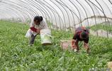 南京蜜蜂授粉地產西瓜即將上市