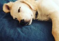 闢謠:狗狗的五種睡姿代表它不同的情緒和狀態,鏟屎官要注意觀察