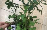 月季花盆裡長出來幾棵香菜,老公恨不得花瓣都吃了,一盆盆扒開看