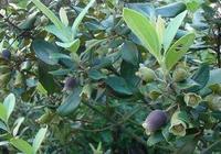 山竹有哪些功能與浸染?山竹的食用禁忌是什麼?