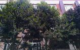 高雅的樹,問了好多人,95%的人說不認識
