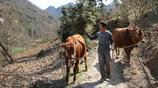 55歲大叔深山裡住破房子,養兩頭牛種20畝地,不缺錢花卻打光棍