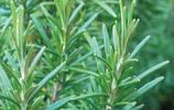 植物圖集:迷迭香