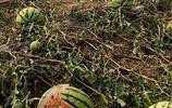 冰雹之後的西瓜地 西瓜被砸裂