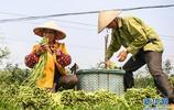 廣西合浦:早春菜進入收穫季