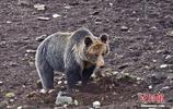 """青海玉樹攝影師拍攝到棕熊""""母子"""" 萌態百出"""