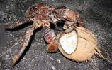 能用爪子打開椰子的重達10磅椰子蟹,想想都好可怕啊