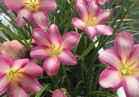 陽臺上最漂亮的花,懶人養花首選,丟土裡就活,一開就是300天