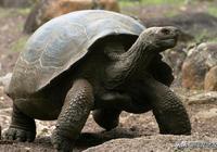 陸龜的進化:它們如何變的如此巨大?