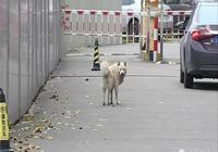 佛山流浪狗被多次驅趕,仍死守小區,它等的人會回來嗎?