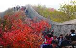 """北京這種樹葉火了,成千上萬遊客""""擠爆""""一座山,到了最佳觀賞期"""