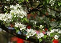 黃花梨是梨樹嗎?為什麼叫黃花梨?