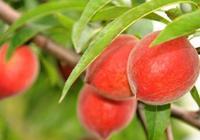 血桃幾月成熟 血桃的功效與作用