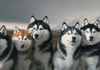 曾作為英雄的哈士奇,在國外仍是雪橇犬,在國內卻是寵物狗?