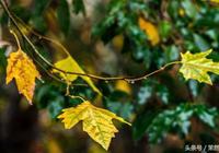 梧桐葉上的秋雨,滴滴涼透心底