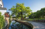 這個古村被18000多顆古樟樹環繞,古樸青翠景色優美,你來過嗎?