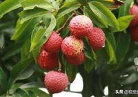 紅毛丹是荔枝嗎?有人說是毛荔枝