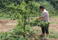 山頭有7畝地,建議別去打工了!只需種這高產果樹,比打工掙得多