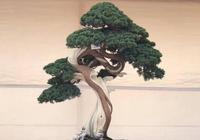 柏樹盆景樹樁的設計與製作