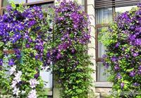 網購鐵線蓮苗,這樣種植,開花爬滿牆