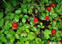 野草莓能吃嗎?