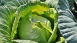 加入這種調料做出的圓白菜,酸辣可口,保你胃口大開