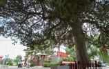 河南發現一棵1475歲的大柏樹,貧窮鄉民在東魏年間種植
