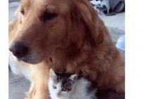 失去三個孩子的金毛,撿了只小流浪貓,再苦再累也要把它牽在身邊