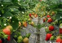 大棚種植草莓高產竅門在這裡!記住這6點很關鍵