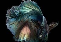 鬥魚攻擊性強,不過這種情況下能和孔雀魚或其他熱帶魚混養一起