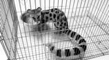 斑林狸:種群現狀