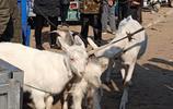"""農村大叔賣""""母子""""三隻羊,兩隻小傢伙跪地哀求令人動容,咋回事"""