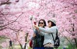 南京:櫻花爛漫醉遊人