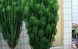 植物圖集:量天尺植物美圖
