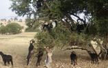 山羊上樹吃樹葉