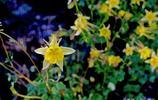 黃色的五星花