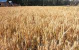 小麥豐收在望,新小麥開秤價或高於往年,小麥要漲了