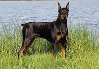 杜賓犬具有多犬種優點合一的超級犬種,具有一定的攻擊力