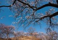 小說:兩棵杏子樹